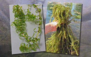 elodea, a common aquarium plant turned invasive species