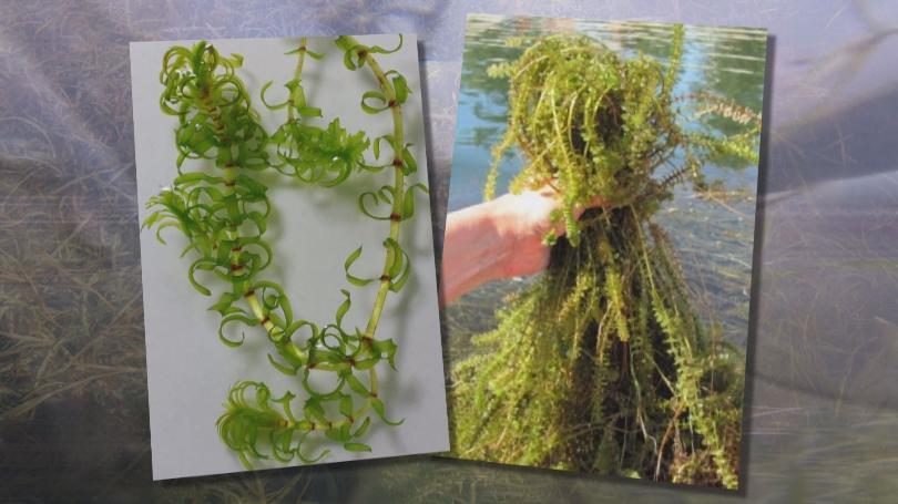 elodea, a common aquarium plant turned invasive species